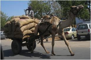 Chameau dans le Rajasthan